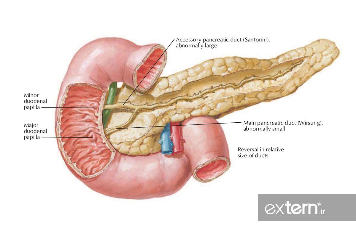 تصویر کتاب اطلس آناتومی نتر آناتومی پانکراس و دئودنوم