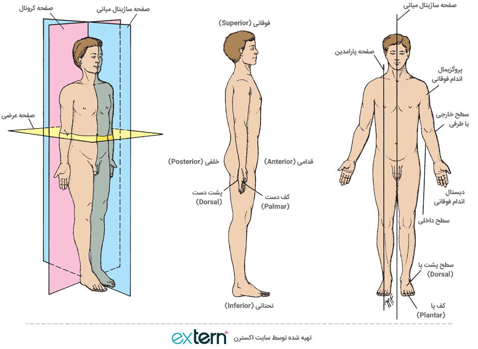 موقعیت آناتومیک و نشان دادن صفحات فرضی آناتومی نظیر کرونال، ساژیتال و آگزیال